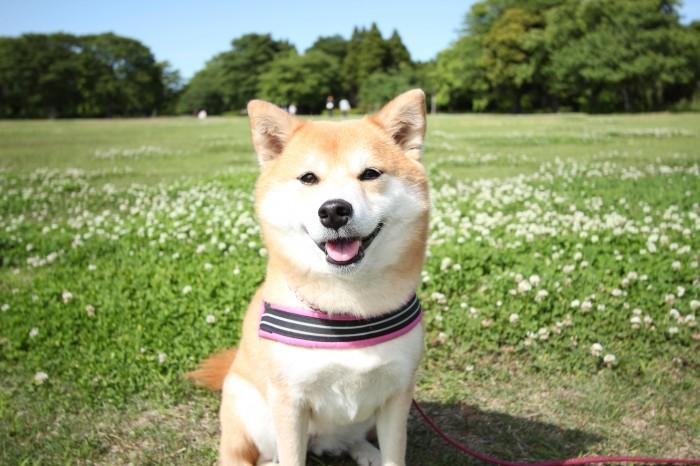 柴犬とシロツメクサの草原(昭和の森公園)